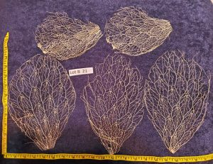 Prickly Pear Cactus Skeleton, Fiber - Lot B21