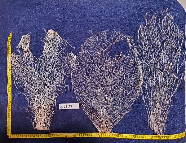 Prickly Pear Cactus Skeleton, Fiber -Lot J 21