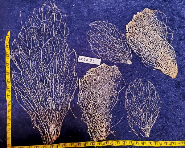 Prickly Pear Cactus Skeleton, Fiber Lot K 21