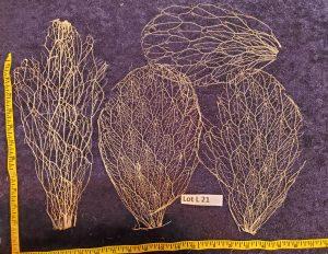 Prickly Pear Cactus Skeleton, Fiber Lot L 21