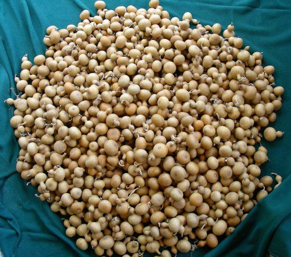 Mini Nigerian gourds
