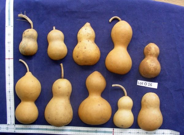 caft ready gourds