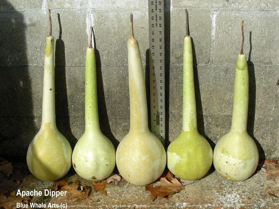 Apche Dipper Gourd Seeds