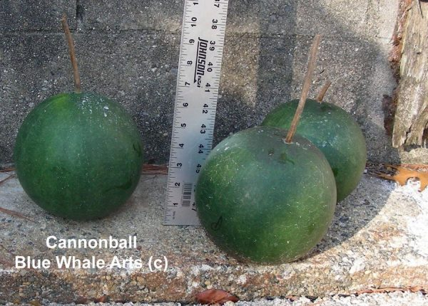Cannonball Gourd Seeds
