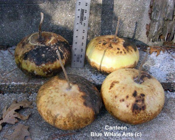 Canteen Gourd Seeds
