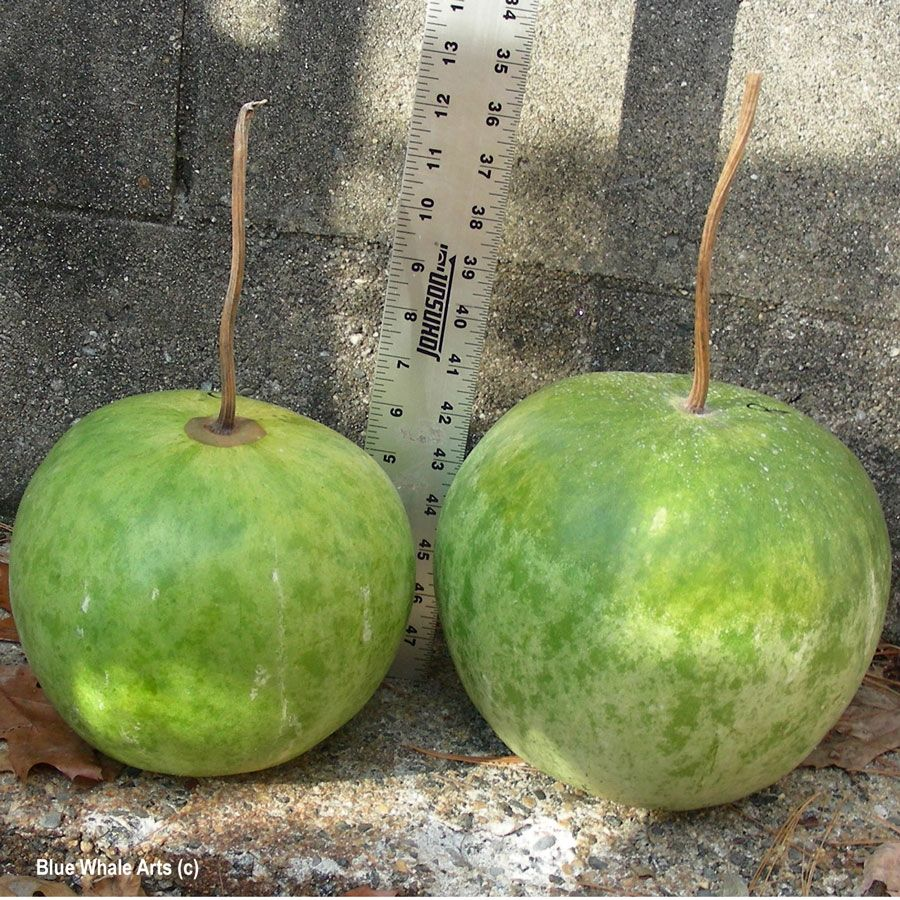 Large Round Gourd Seed