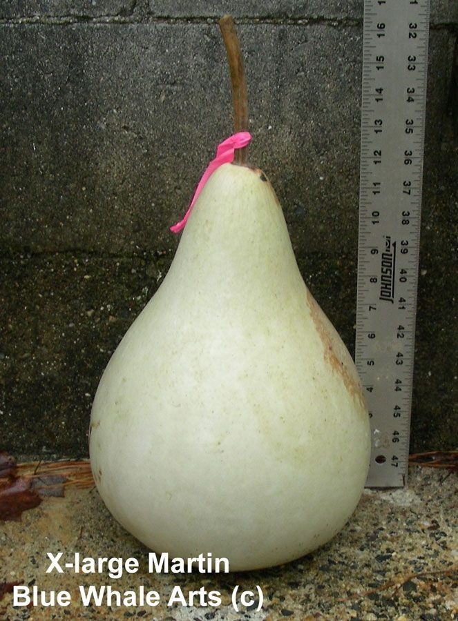 Extra Large Martin Gourd Seeds