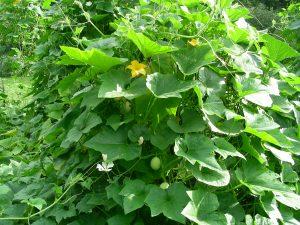 Gourd Garden